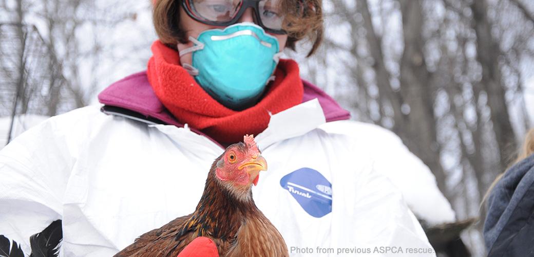ASPCA volunteer holding a rooster