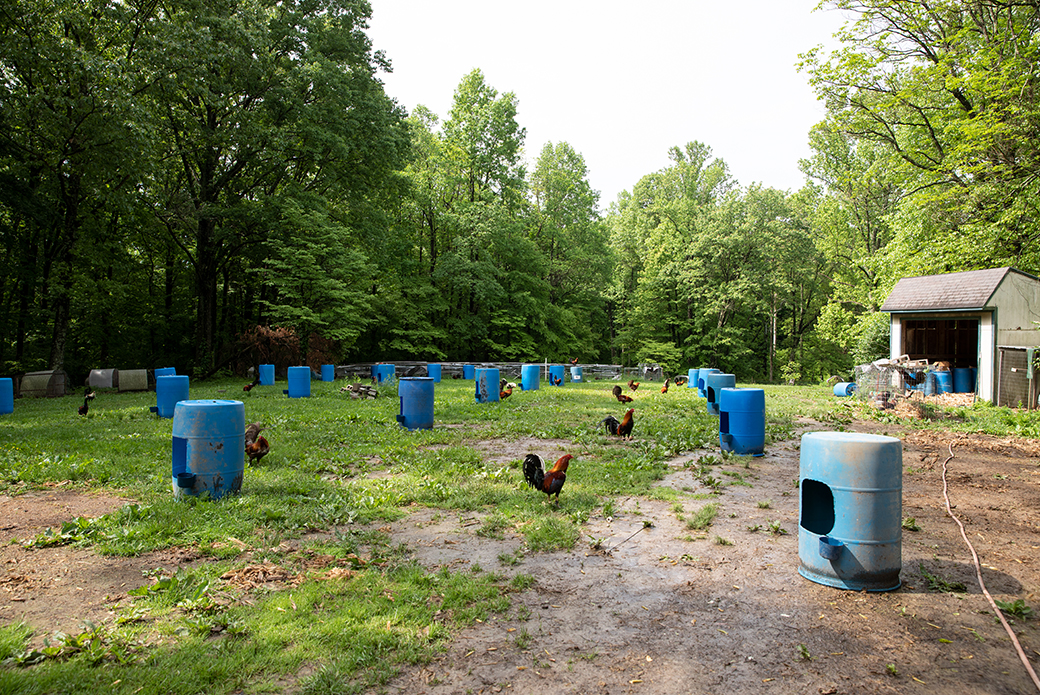 Roosters with blue plastic containers