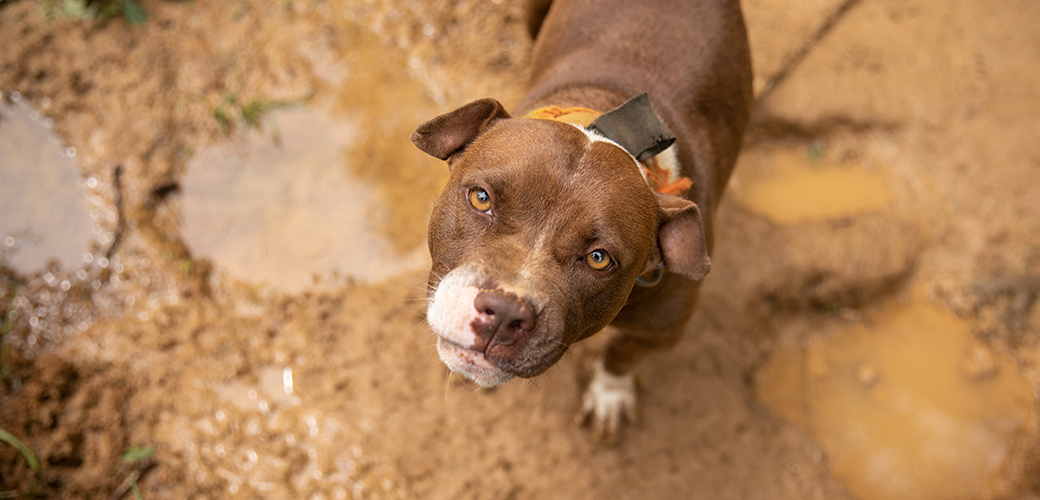 a brown and white pitbull in mud