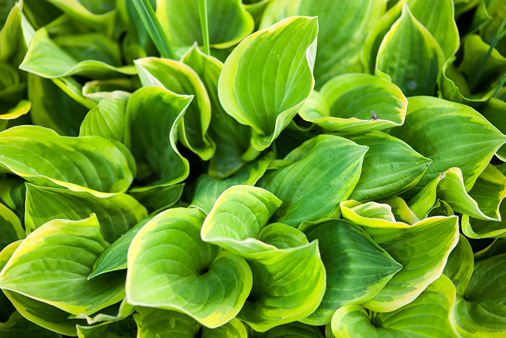 "MYTH: ""Hostas cause bloat."""