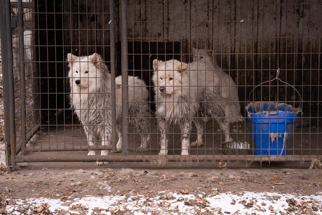 samoyed's in a dirty cage