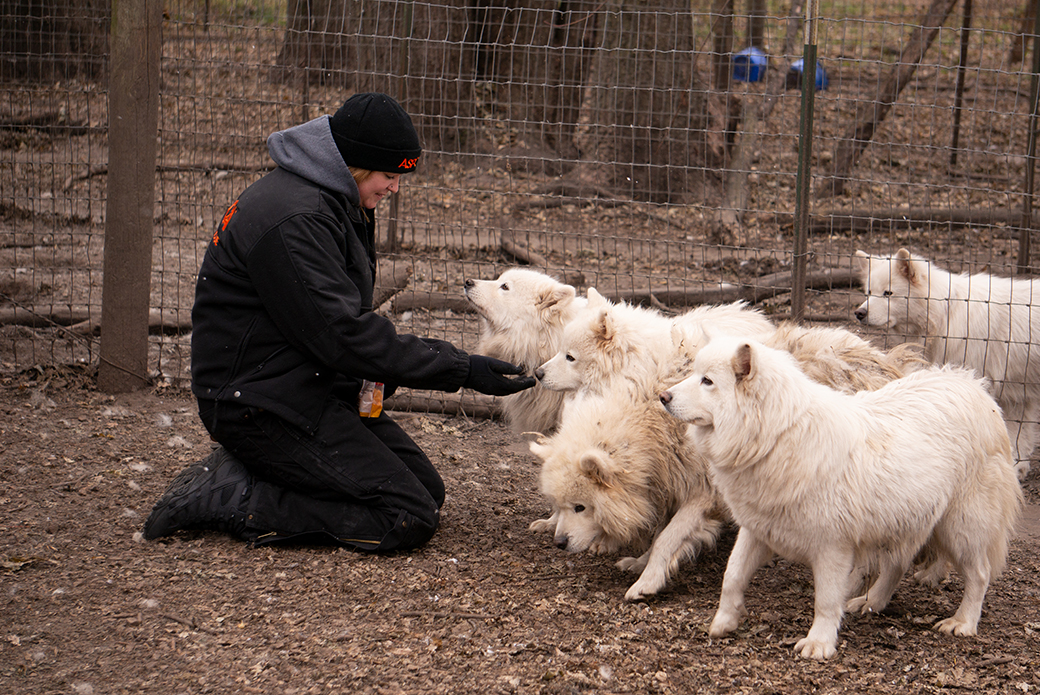 an aspca rescuer and samoyeds
