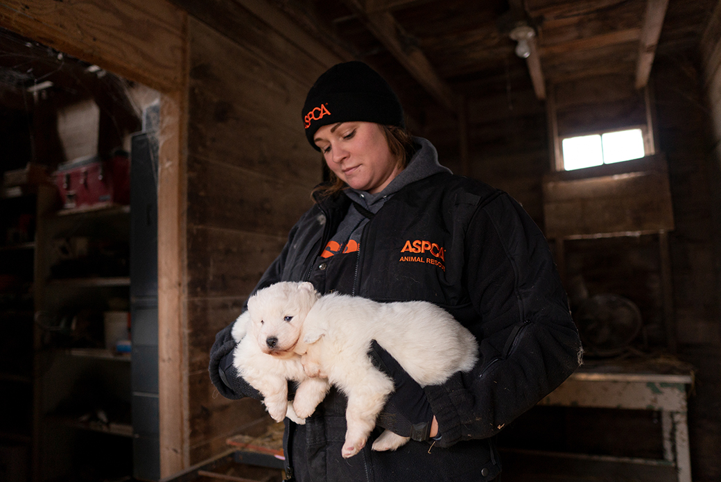 an aspca responder with samoyed puppies