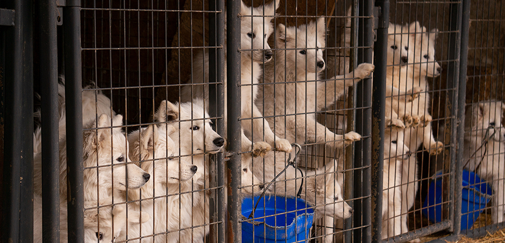 samoyeds in a cage