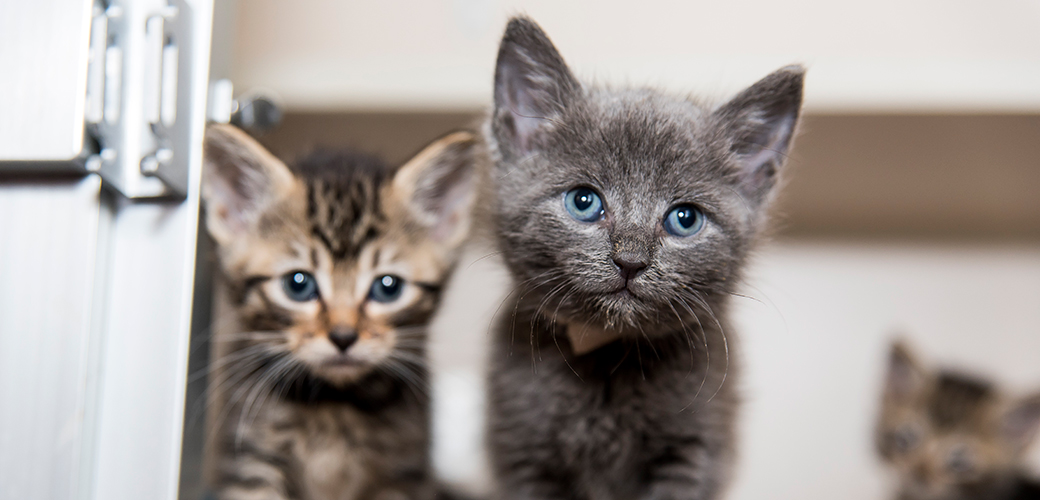 Are You in the New York City Area? Do You Love Kittens? Apply to Work in Our Kitten Nursery!