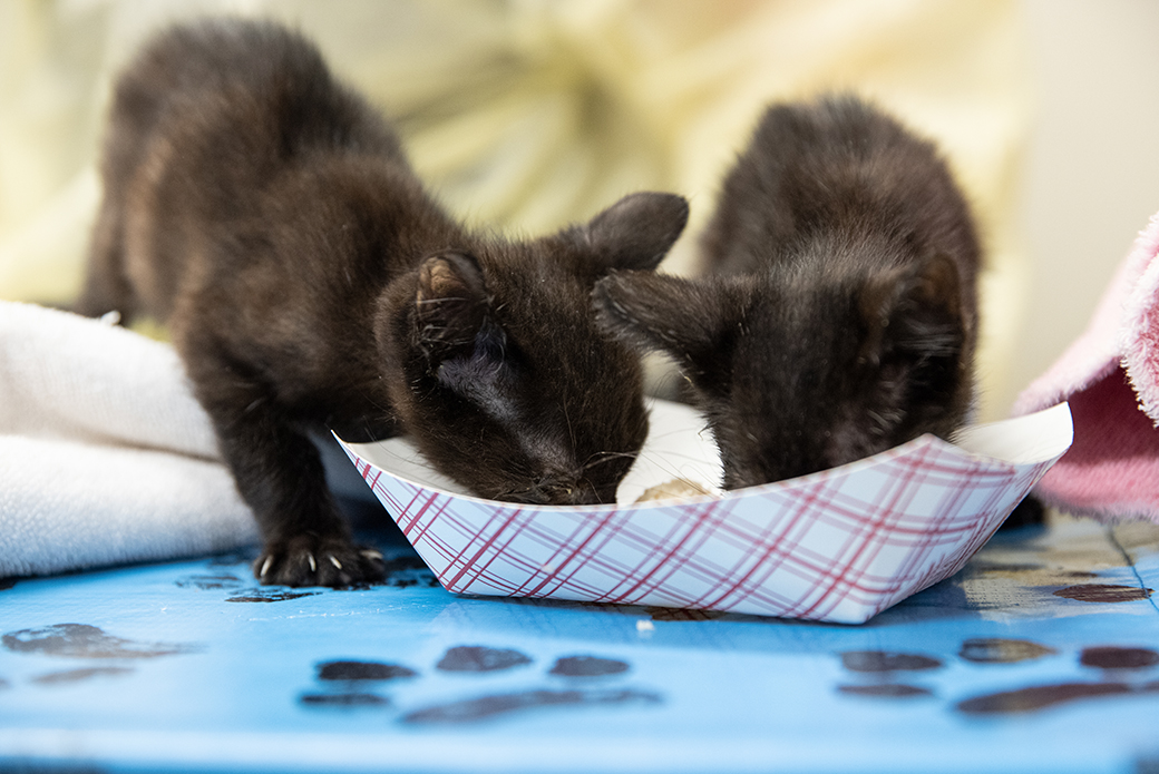 two black kittens eating from a paper tray