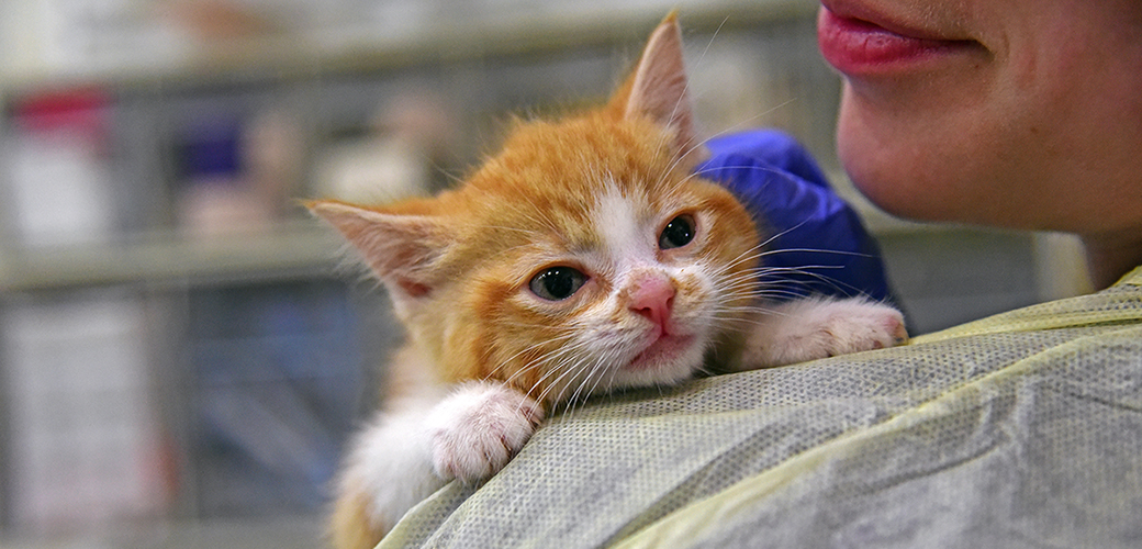 an orange and white kitten
