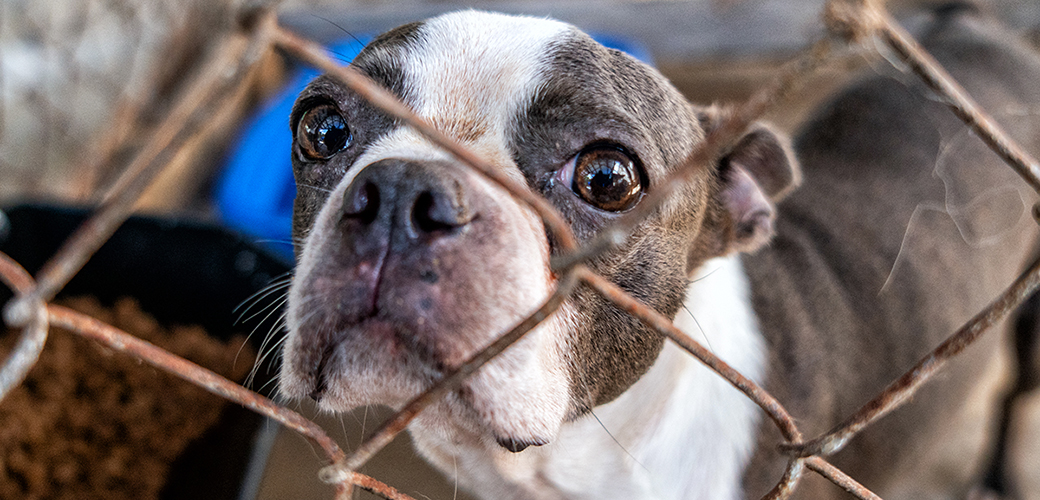 a boston terrier behind a rusty fence