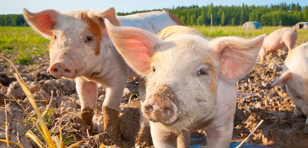 Finishing Strong to Protect Farm Animals in Massachusetts