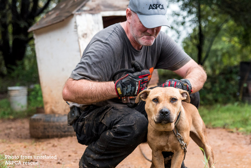 ASPCA volunteer with a chained up pitbull