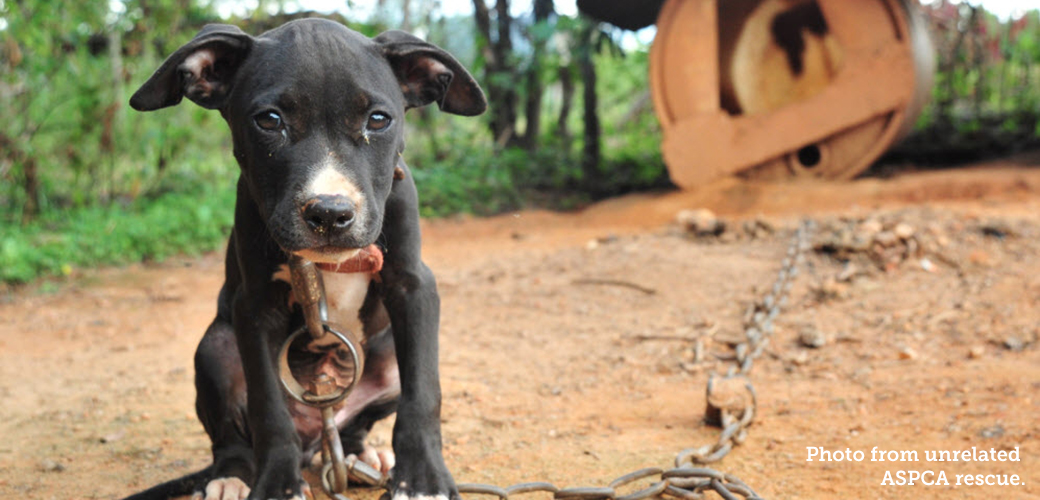 a young chained up pitbull