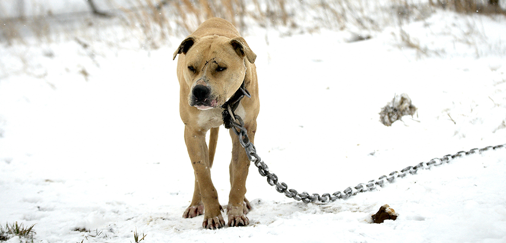 a wounded dog chained outside