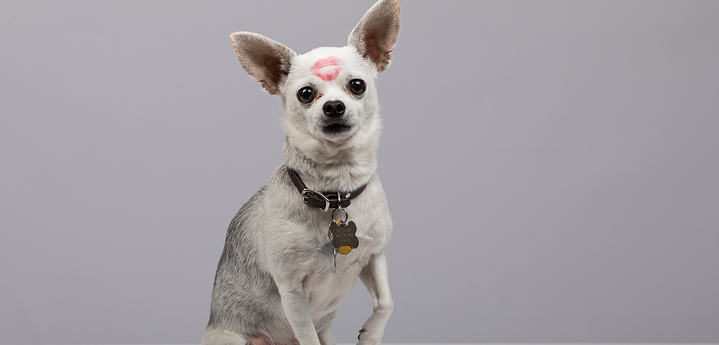 a white chihuahua with a kiss mark on his forehead