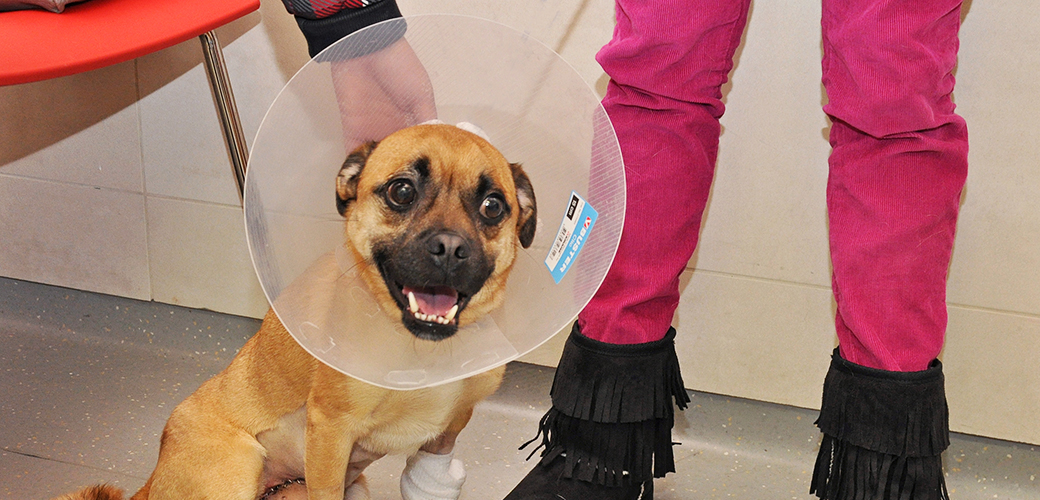 Beloved Puggle Undergoes Life-Saving Surgery after Being Struck by a Car
