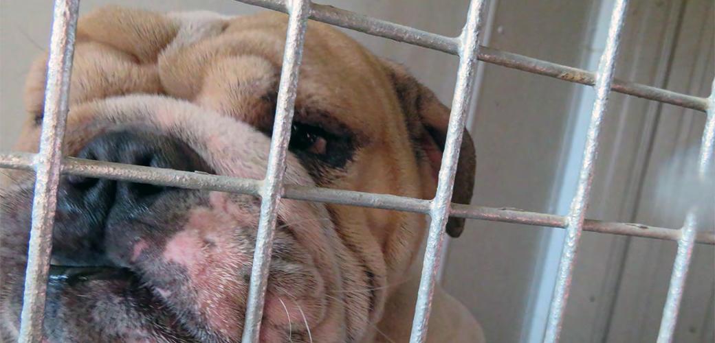 a bulldog in a cage