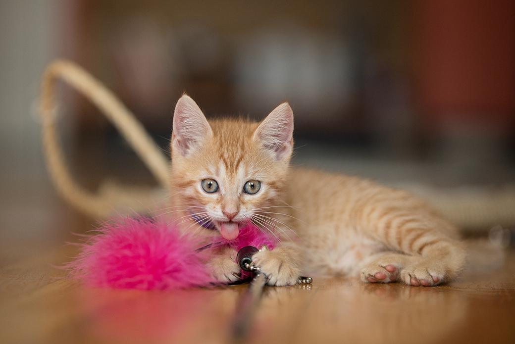a kitten with a toy