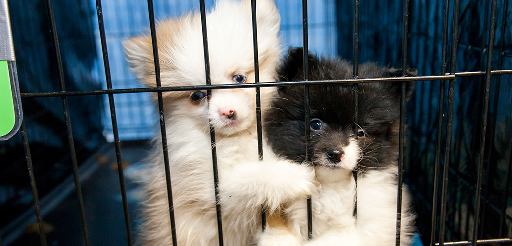 three ways to get involved during no pet store puppies day