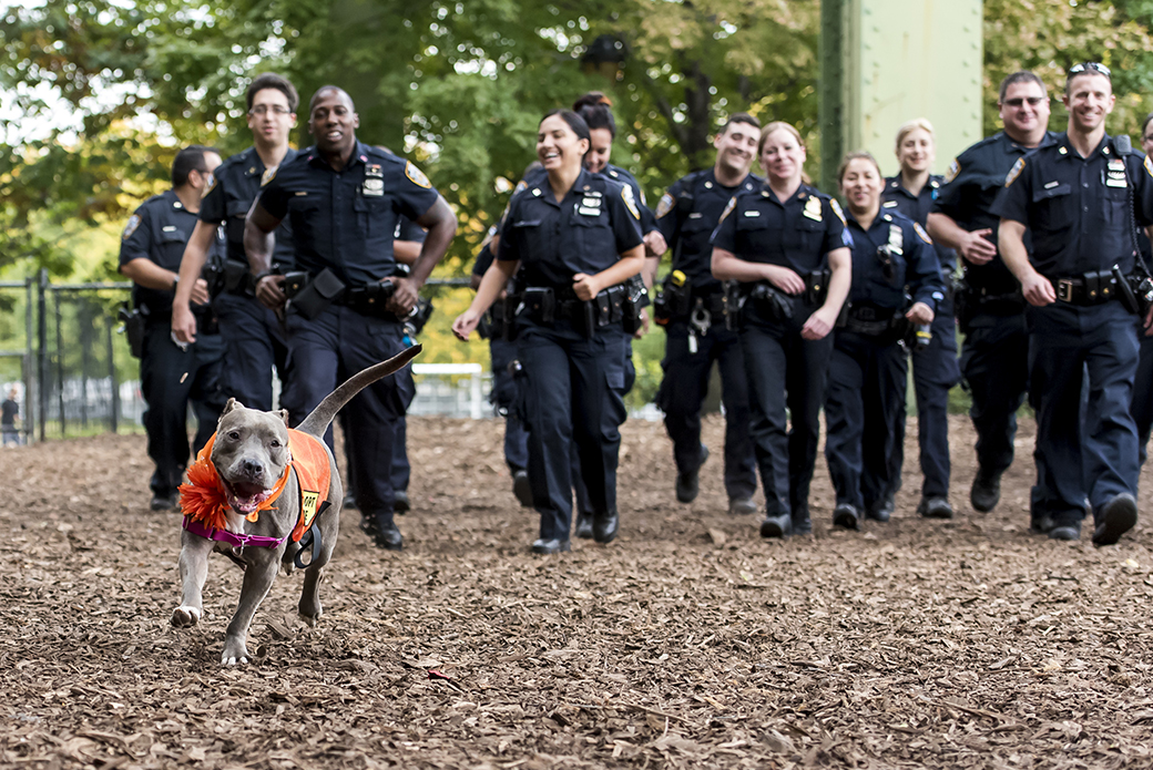 Jamie the pitbull with the NYPD