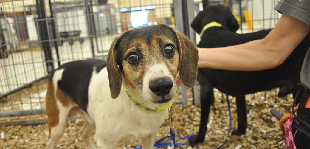 a rescued beagle