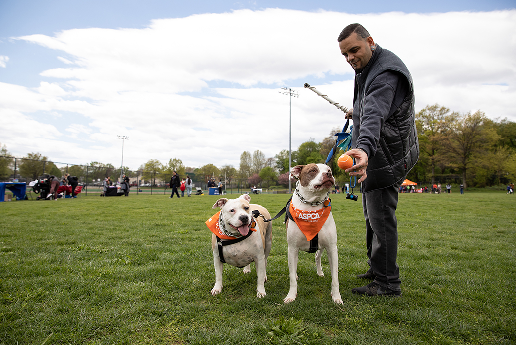a man with two pit bulls with aspca handbook