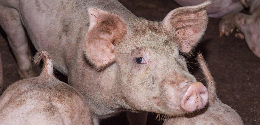 In Passionate Plea, Congress Urges USDA to Reconsider Allowing Faster Pig Slaughter