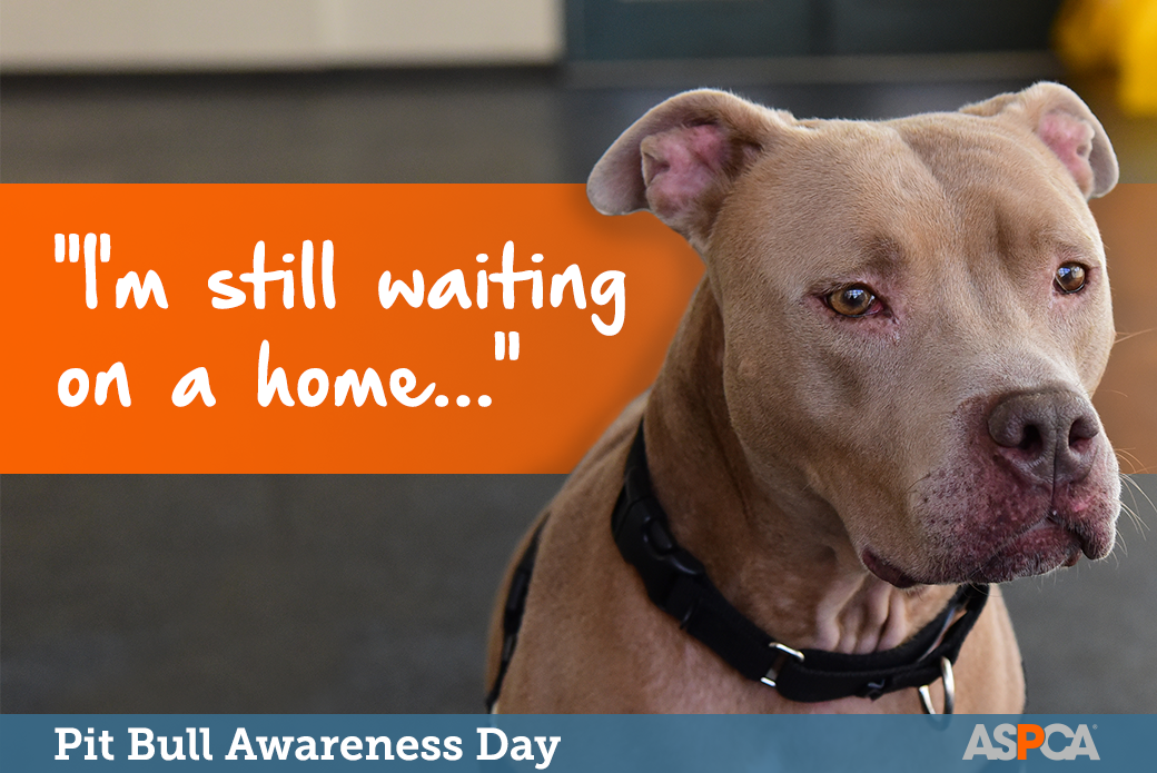Adore A Bull Dogs Need You Honor Pit Bull Awareness Day This Saturday Aspca