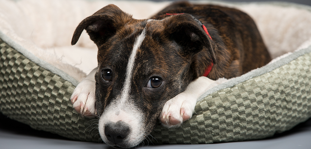 a brindle puppy in a dog bed