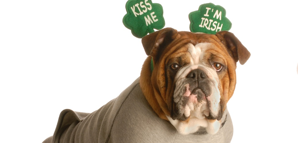 Bulldog with a St Patrick's Day collar
