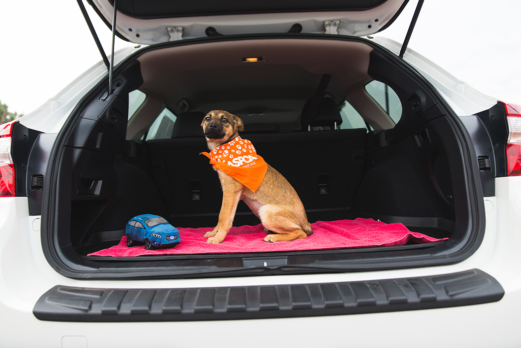 a dog in the back of a subaru