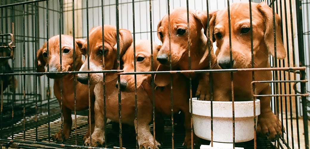 dachshunds in a cage