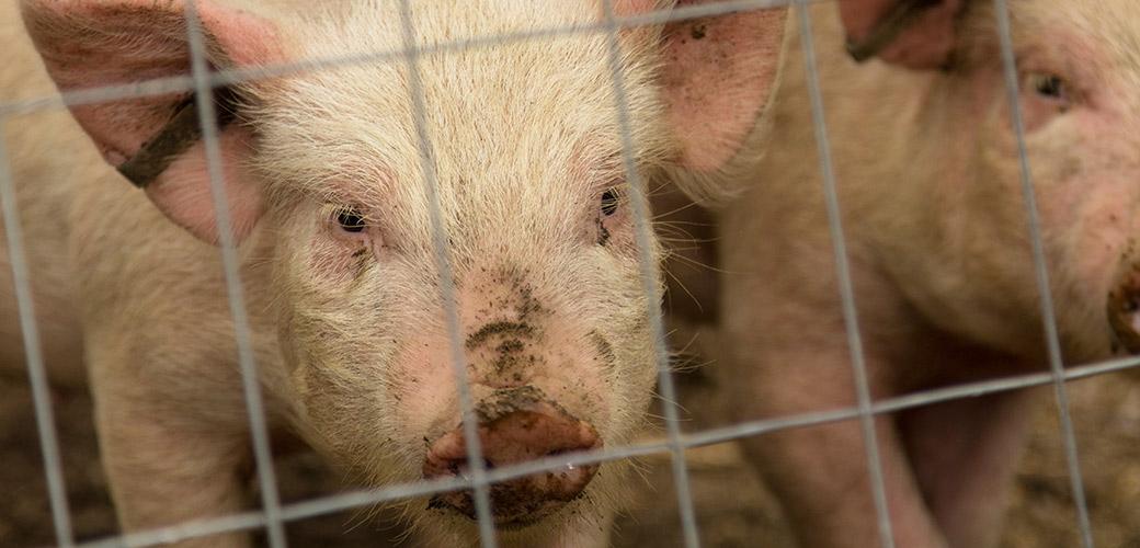 USDA Report on USDA Cruelty Unsurprisingly Misses the Mark
