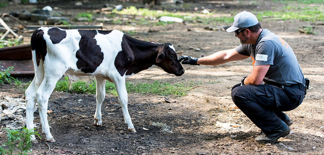 ASPCA responder touching a cow