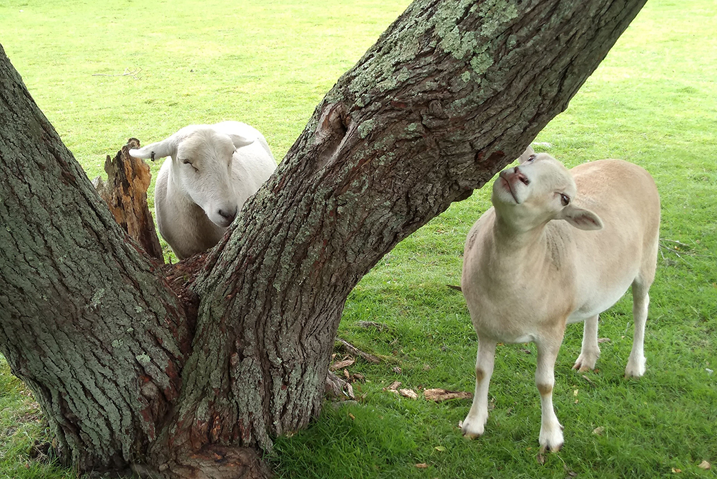 rescued sheep at a tree
