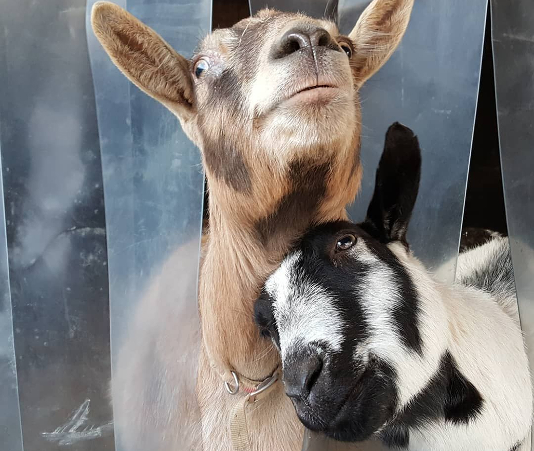 two rescued goats