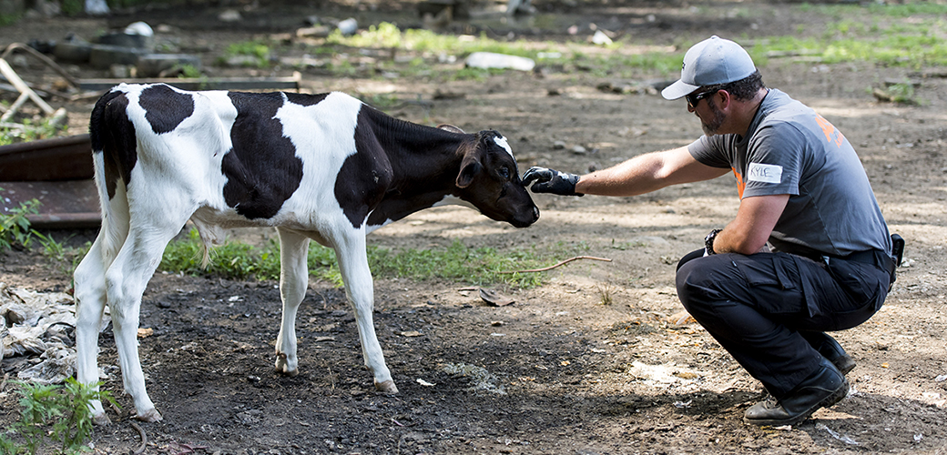 a responder touching a young cow