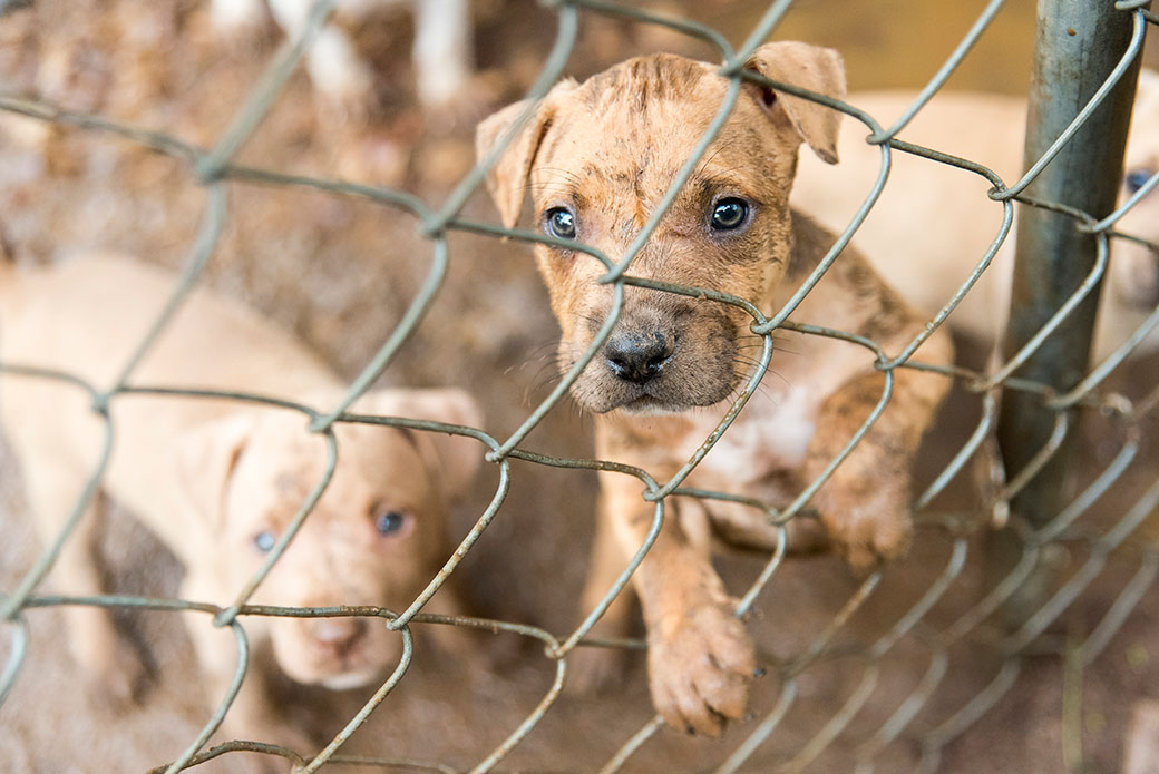 How Are Fighting Dogs Raised and Trained?