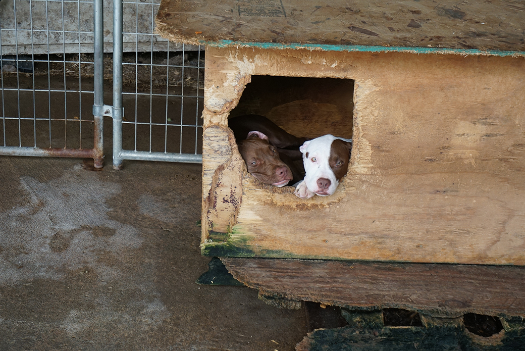pitbulls in a broken down dog house