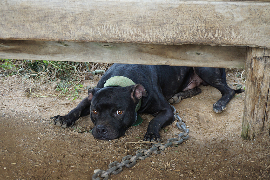 a chained up pitbull