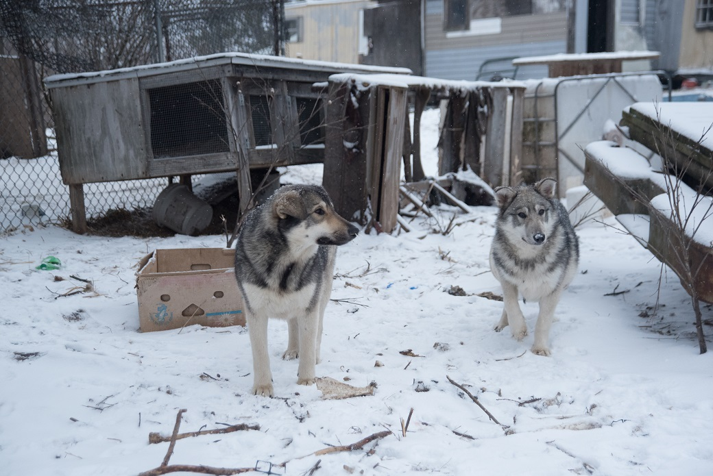 two wolf hybrids out a rundown doghouse
