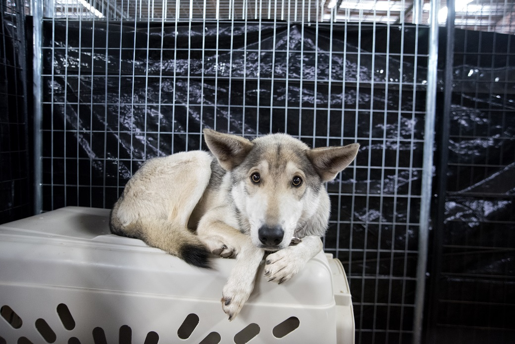 wolf-dog sitting on top of a crate