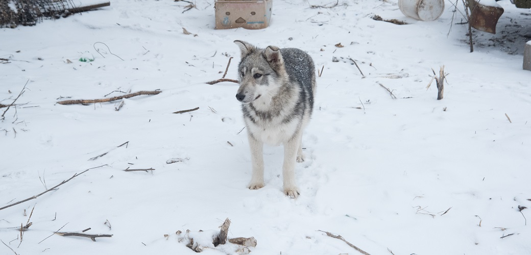Wolf Hybrid in the snow