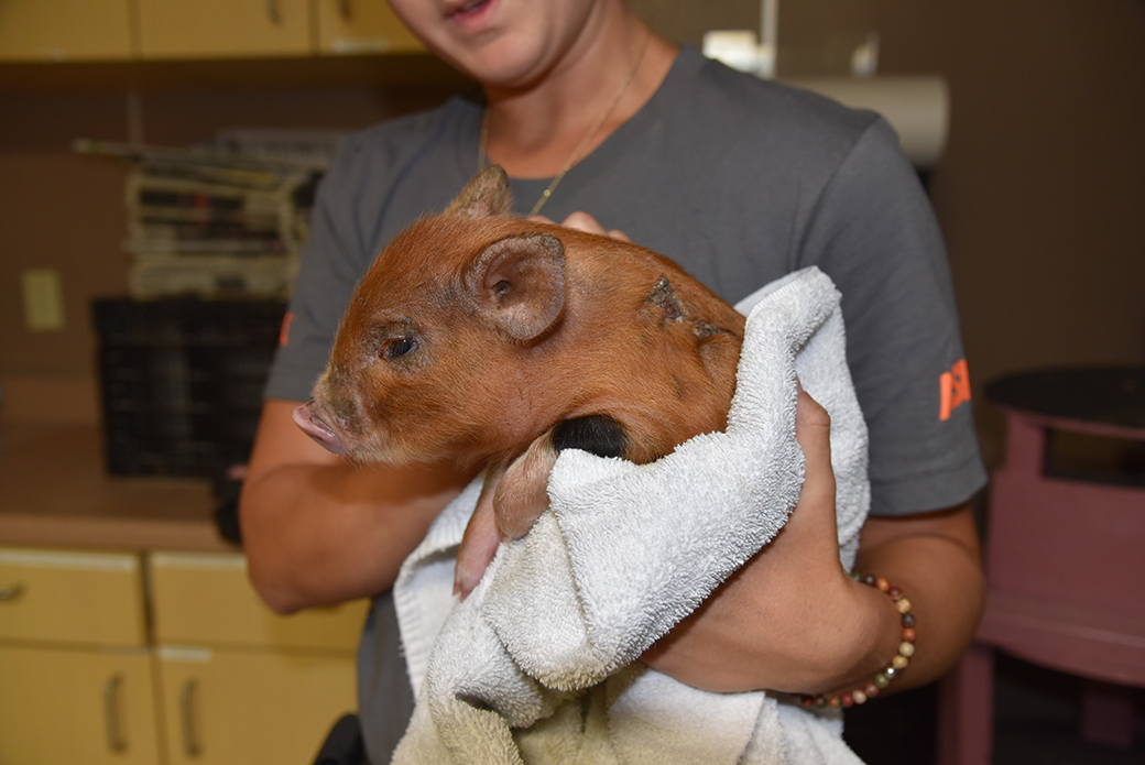 a rescued piglet