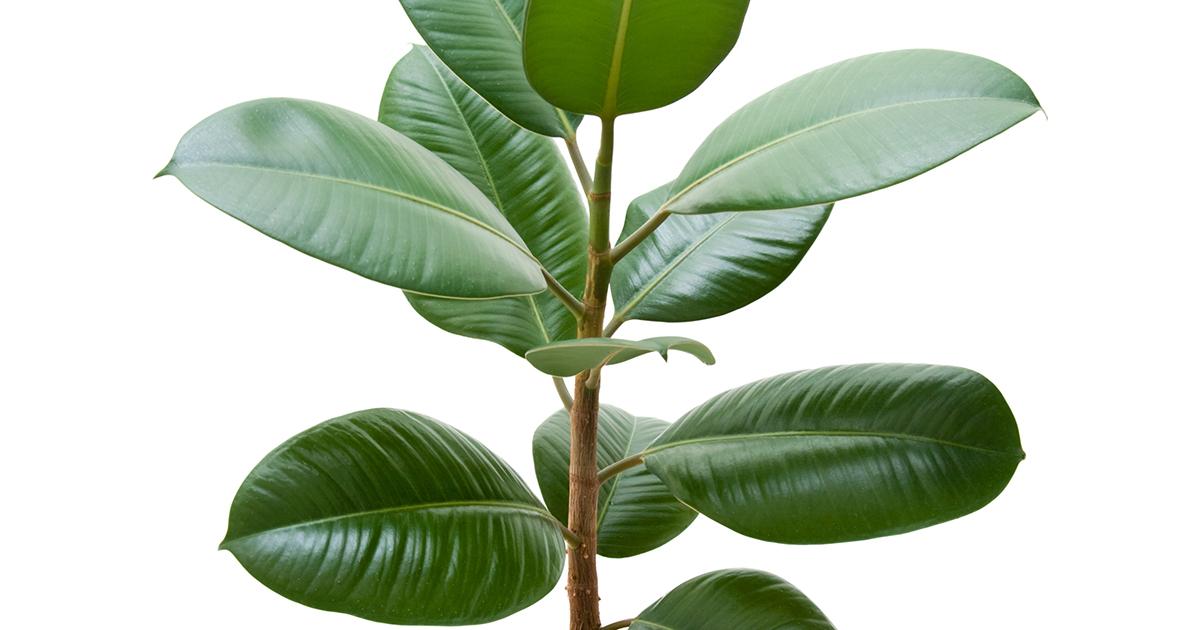 Blunt Leaf Peperomia Aspca