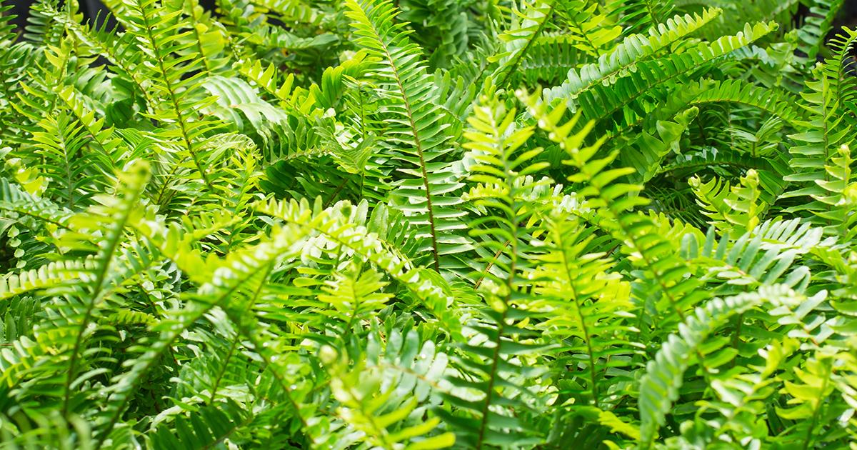 bold sword fern aspca