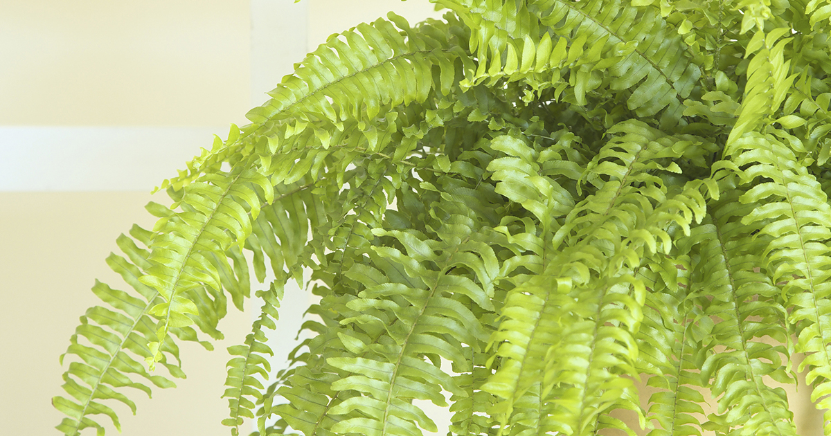 boston fern aspca