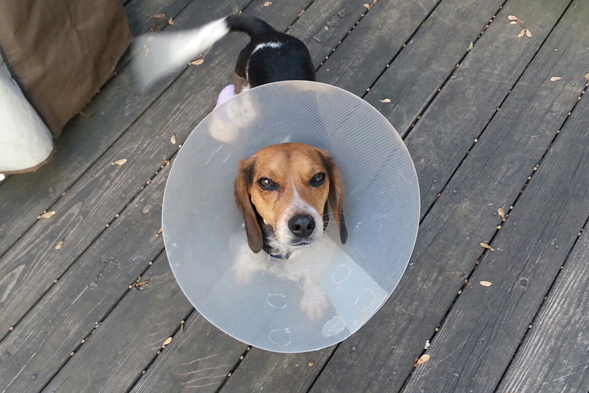 Beagle pup standing outside wearing elizabethan collar
