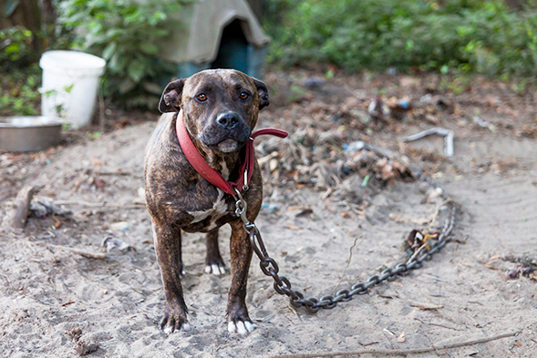 BREAKING: ASPCA Rescues 7 Dogs from Florida Fighting Ring