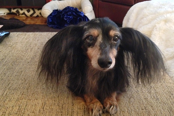 Dachshund with fluffy ears