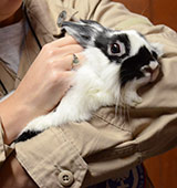 Black and white rabbit being held