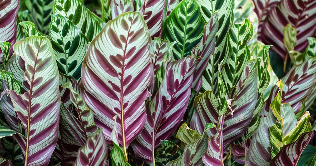 Calathea lancifolia aspca - Plantas ornamentales de interior ...